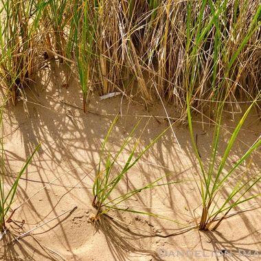 Dune spike