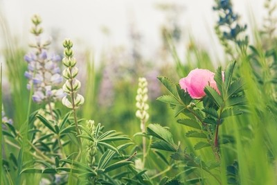 Wild Pink Rose In A Meadow of Lupine