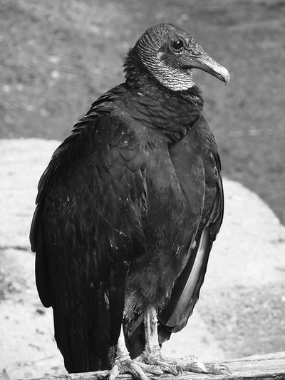 Vulture in repose in Black and White