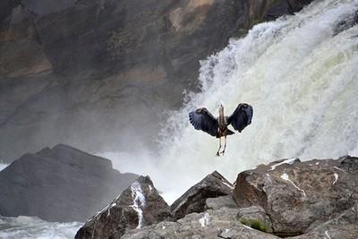Great Blue Heron landing at water falls