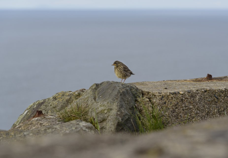 I saw this sweet little bird hopping around on the wall of a deserted bordersite in Northern Irel...