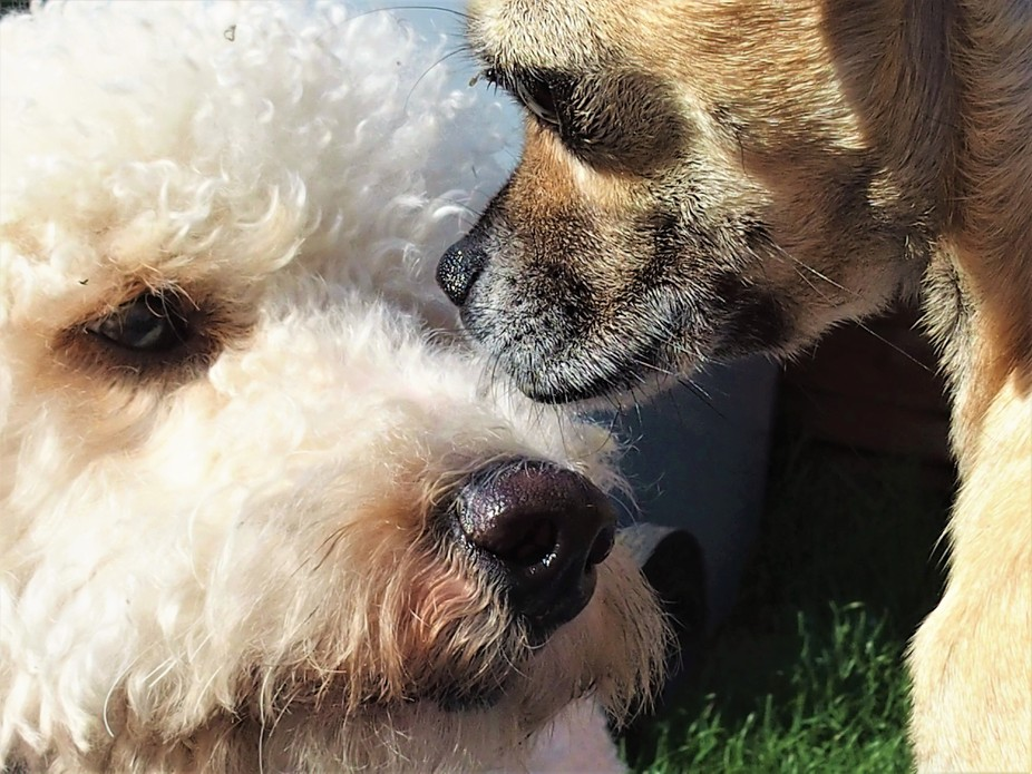 Gandalf the Chihuahua meets Finn the Poodle