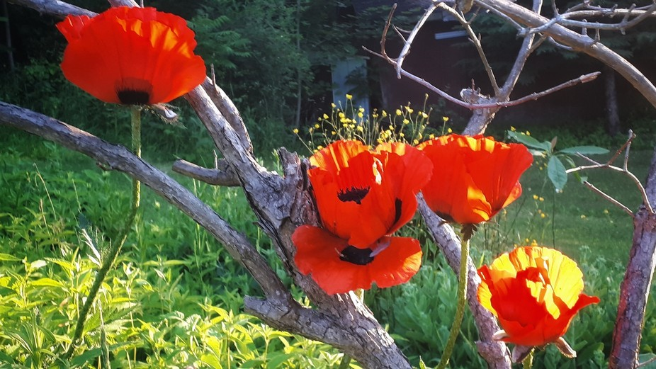 Poppies popped