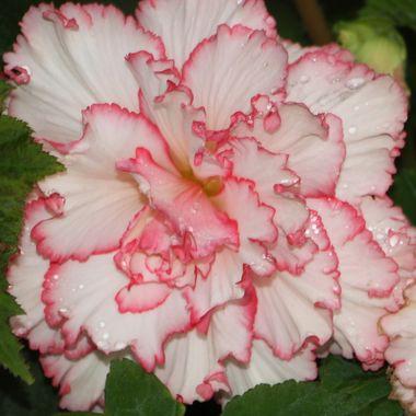 BG FLOWER 332