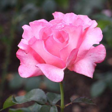 BG PINK ROSE 357