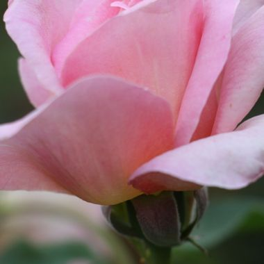 BG PINK ROSE 366