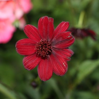 BG RED FLOWER 415