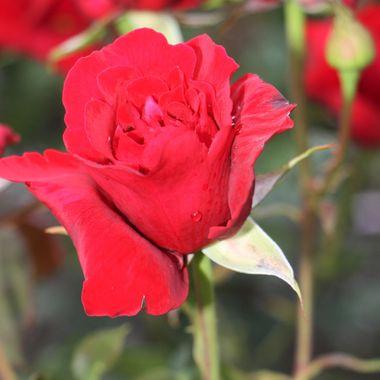 BG RED ROSE 382