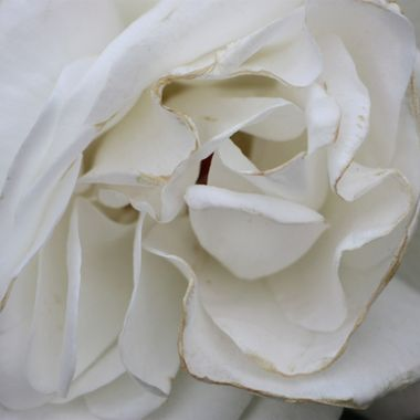BG WHITE ROSE 375 v2