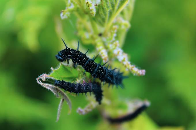 Caterpillars on green leaf