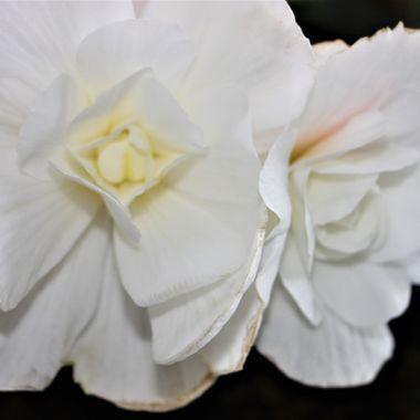 BG WHITE ROSE 324 v2