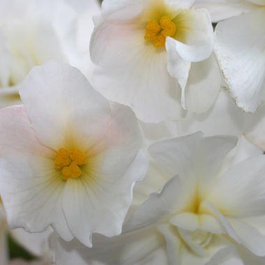 BG WHITE FLOWER 326 v2