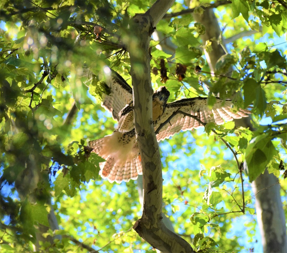 Juvenile hawk in Madison Square Park in New York, adult hawk took over  his nest.