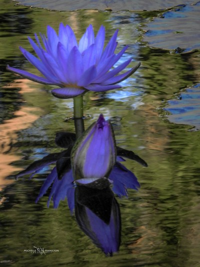 Water Lilly Reflections