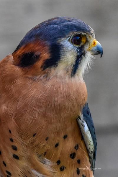 Jet the Kestrel Falcon