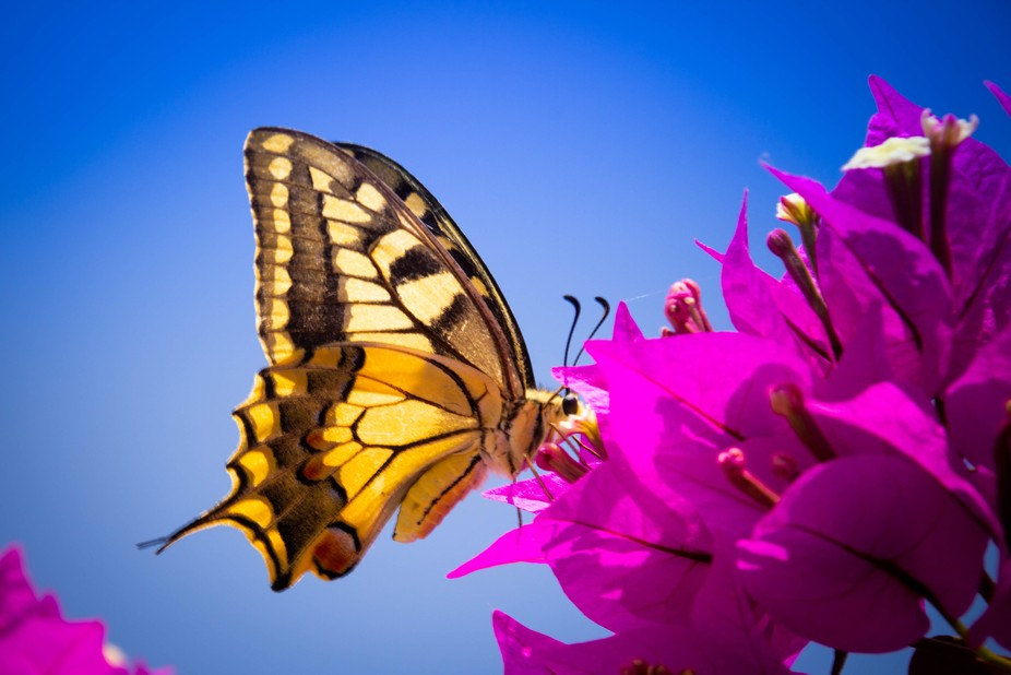 A rather big black and yellow butterfly on purple flowers with a very blue background shot in Cre...