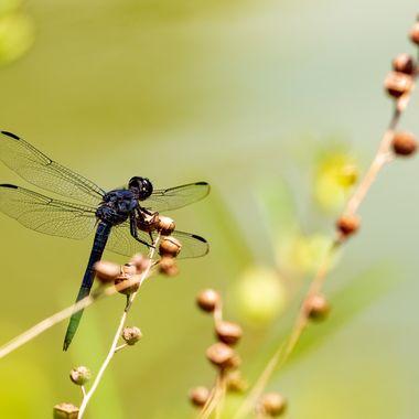 Dragonfly on backyard pond _DSC5210