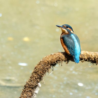 A Kingfisher waiting for food.