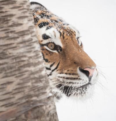 Amur Tigress Close-up