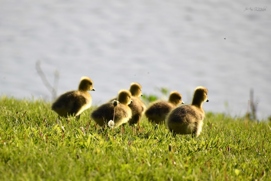 Little goslings stop and stare at the lake before going for a swim with mom and dad.