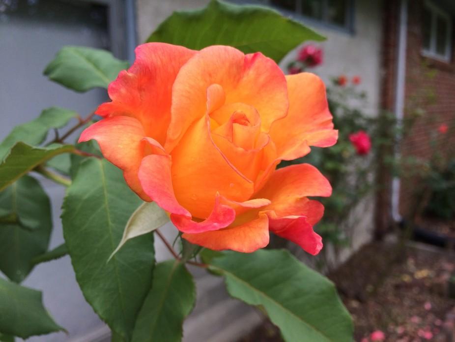 Rose bush in Mom's Garden