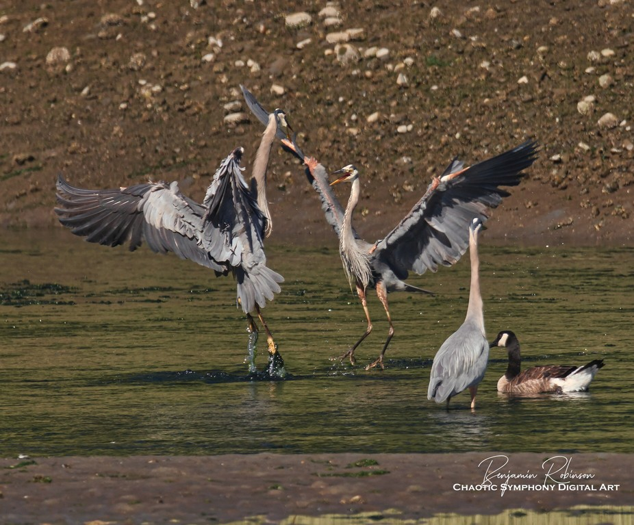 Blue Herons in a bit of a squabble.