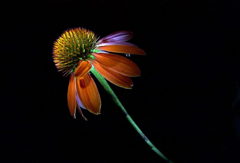 Orange Cone flower1