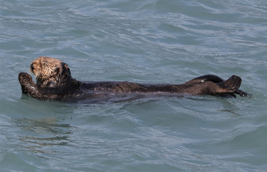 In Alaska the sea otter gives a little prayer for a good catch today.