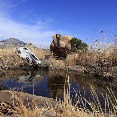 """Buitre comun o leonado (Gyps fulvus), en el bebedero de La Alberca (Sierra de Francia-Spain). Foto con camara en el suelo y mando a distancia desde un """"hide""""."""