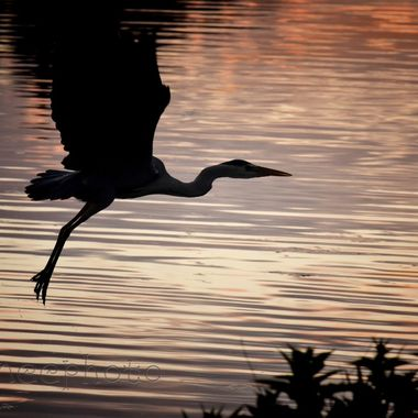 Fine silhouette of Mr Heron
