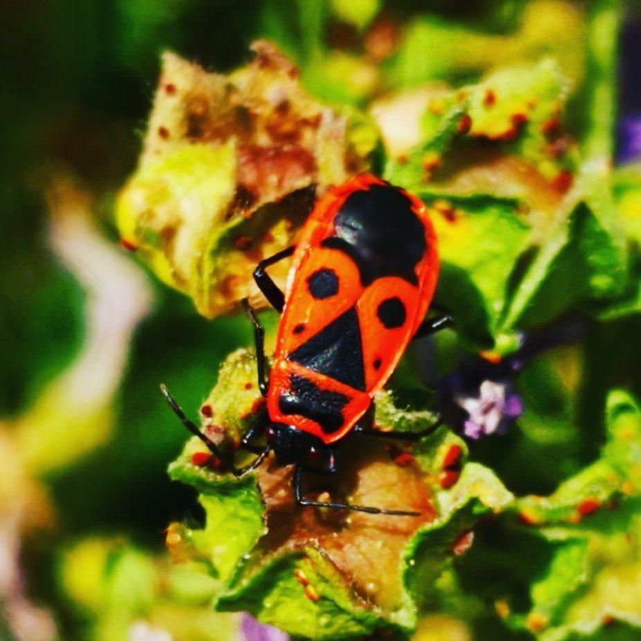 Der Käfer hat als Tarnung ein Gesicht zur Warnung vor Feinden