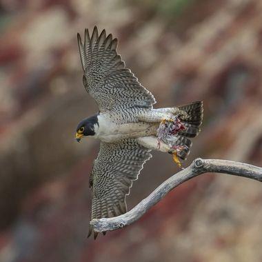 Peregrine Falcon male DSC00141