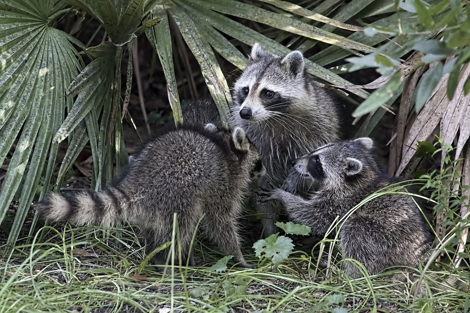 This mother Raccoon has 4 babies.  As I am not able to get outside without scaring them I have th...