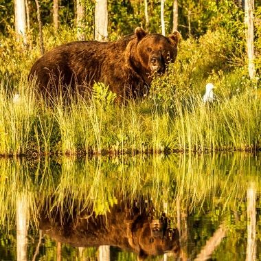 Bear reflection
