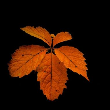 Closeup of orange leaf on a black background