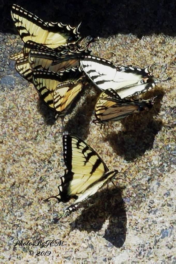 Taken with my Samsung Galaxy S7 phone.  These Eastern Tiger Swallowtail butterflies were at the edge of the water when I was launching my boat to go fishing on Kinzua Reservoir in Warren County Pennsylvania.  I did not have my Nikon camera with me so I took this shot with my phone.