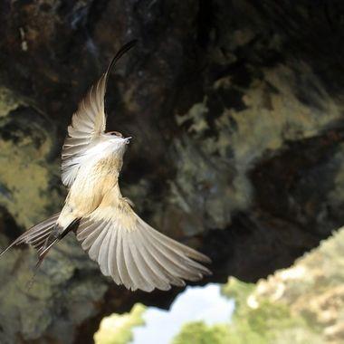 Golondrina daurica, llevando una pluma al nido para aumentar el confort de los pollos.