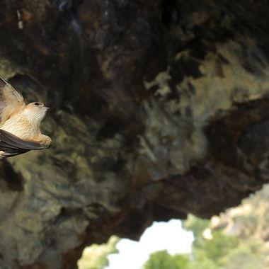 Golondrina daurica haciendo la maniobra de entrada al nido
