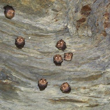 Descansan durante el dia en la bobeda de la cueva.