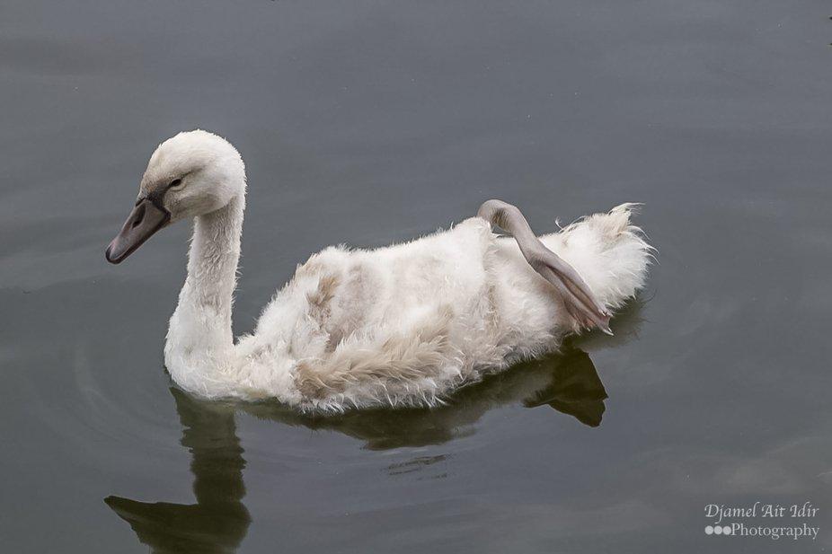 duckling in water_ copy