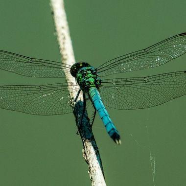 Dragonfly near pond DSC5254
