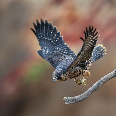 This Juvenile Peregrine Falcon fledged less than a week ago.