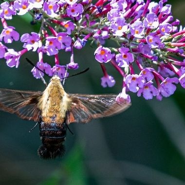 Clearwing Moth on Butterfly Bush. While eating nectar it pollinates.