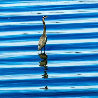 I live right on Hood Canal and noticed this ripple effect in the water with the heron right there. I was one of those there at the right time moments.