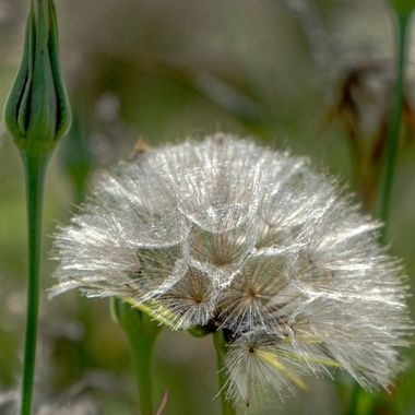 Silver seed head.