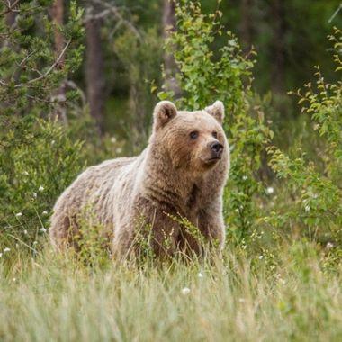 Adolescent  bear