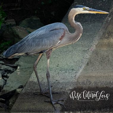 Blue Heron Up Close and Personal!