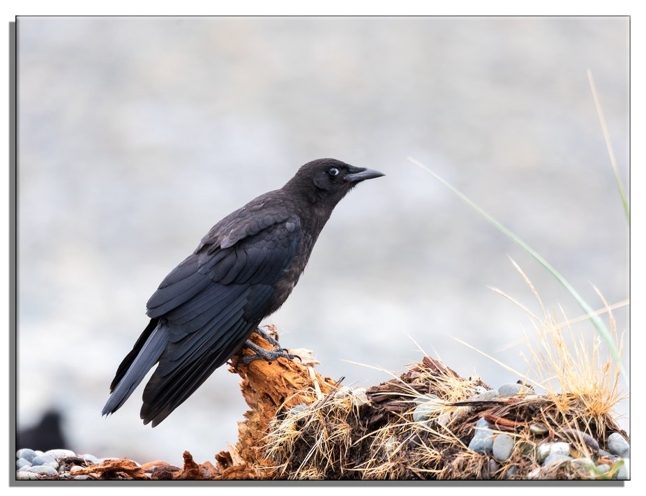 A Common Crow giving me an uncommon look!
