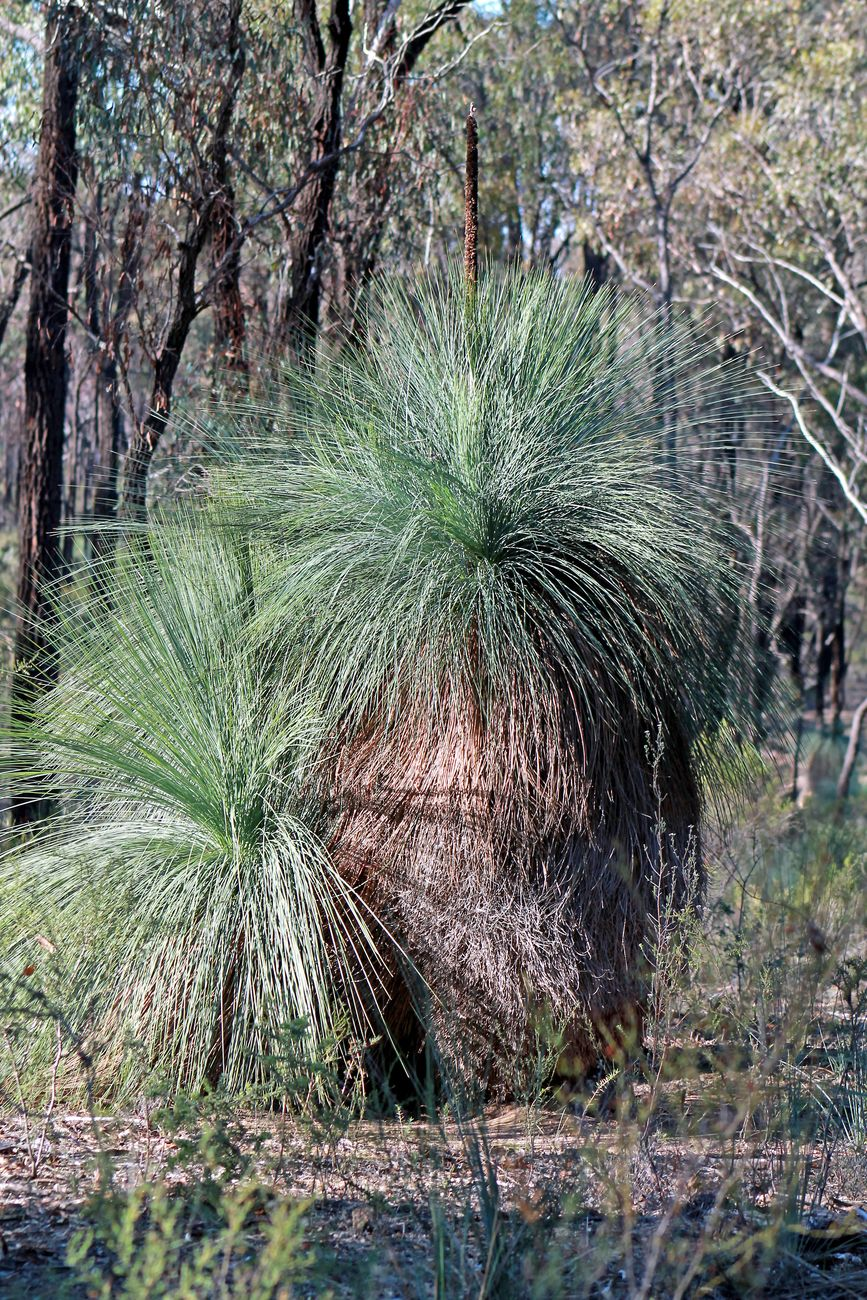 grass trees in the Whroo forest