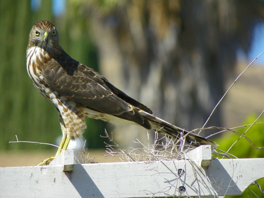 Red tailed hawk at my front gate.